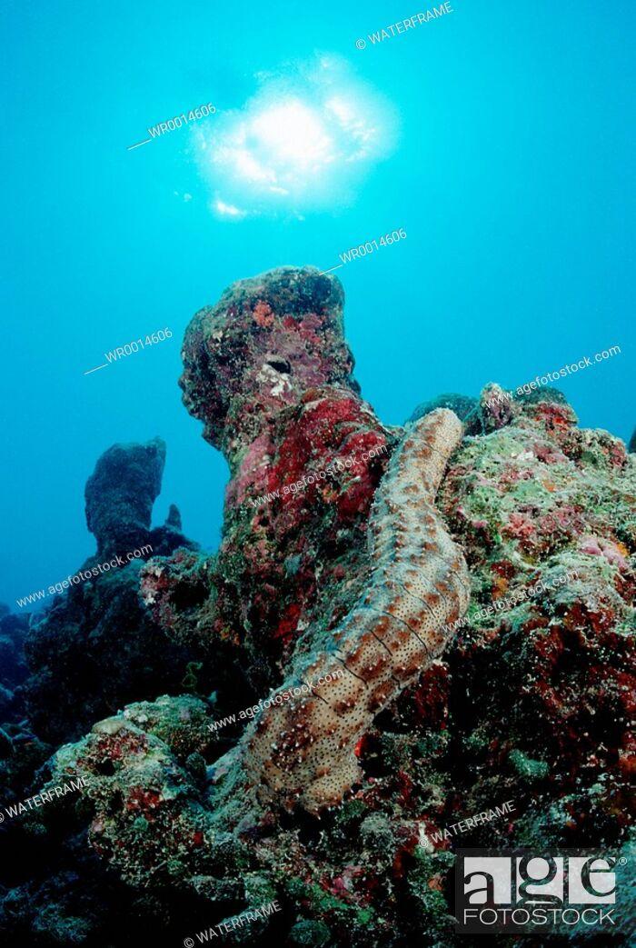 Imagen: Striated Sea Cucumber at Coral Reef, Bohadschia graeffei, Indian Ocean, Maldives.