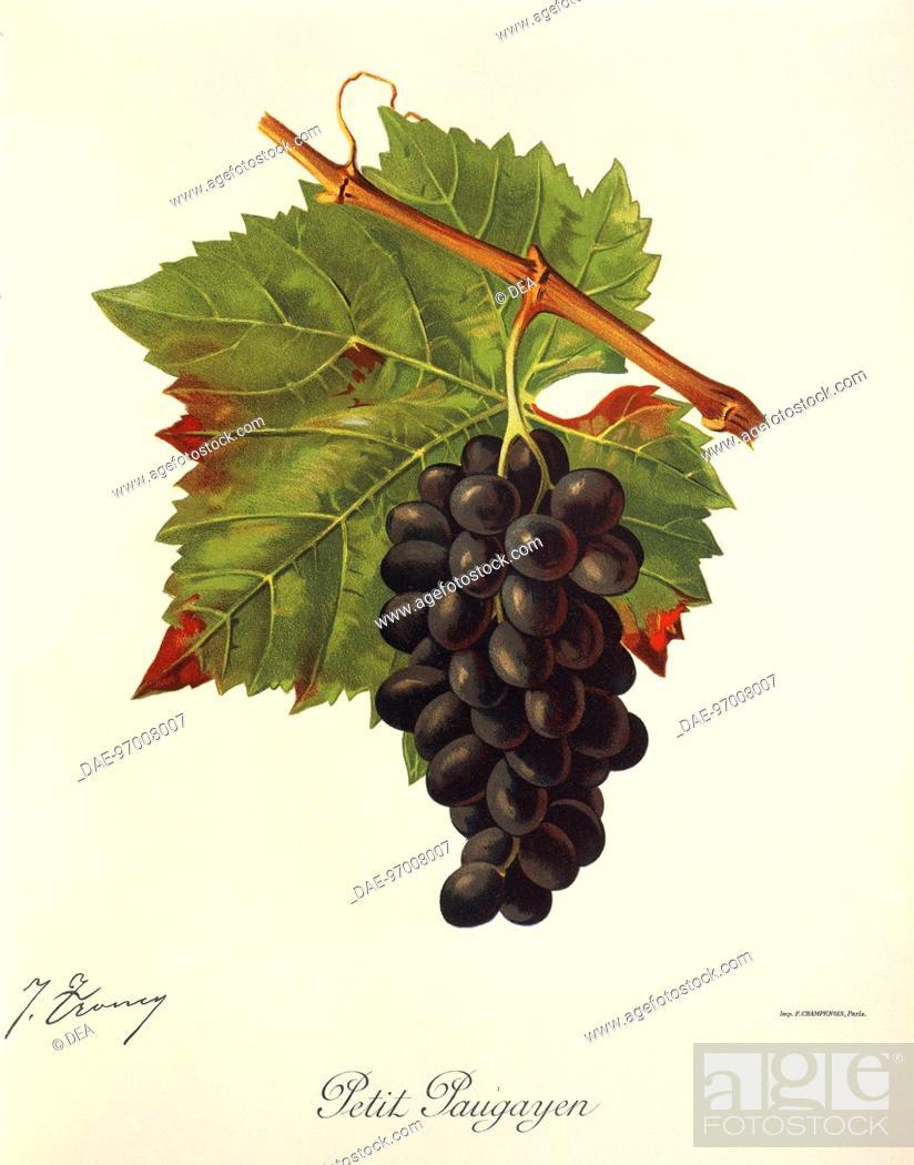 Stock Photo: Pierre Viala (1859-1936), Victor Vermorel (1848-1927), Traite General de Viticulture. Ampelographie, 1901-1910. Tome IV, plate: Petit Paugayen grape.