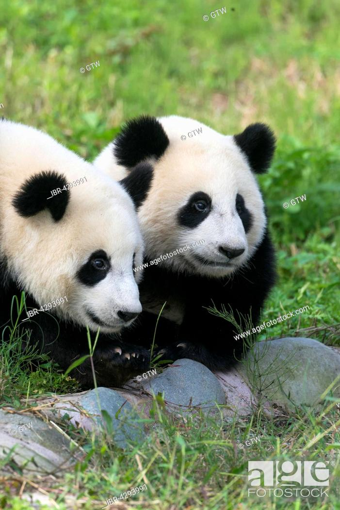 Stock Photo: Two Giant Pandas (Ailuropoda melanoleuca), two years, China Conservation and Research Centre for the Giant Panda, Chengdu, Sichuan, China.