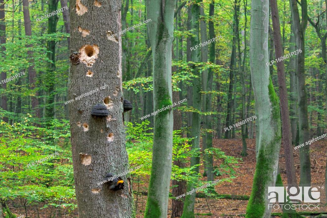 Stock Photo: Woodpecker holes in tree trunk with fungal disease at beech forest in autumn.