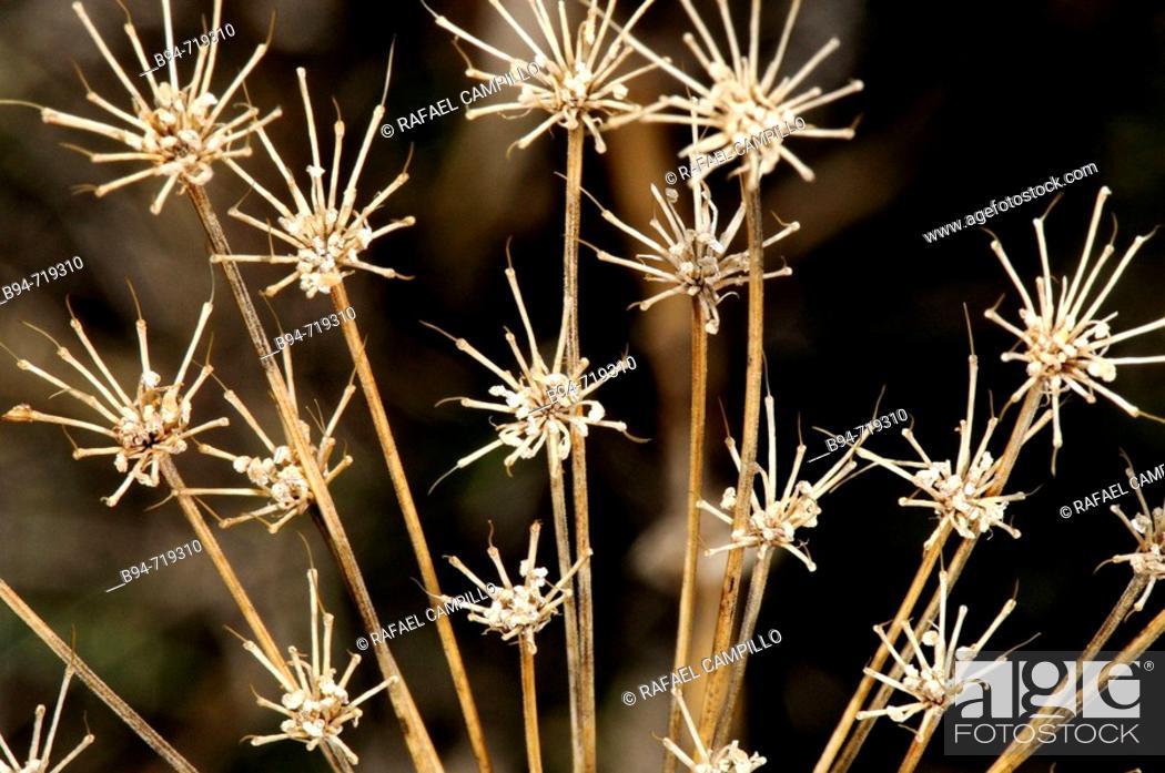 Stock Photo: Dried plant (fam. Umbelliferae). Osseja, Languedoc-Roussillon, Pyrénées-Orientales, France.
