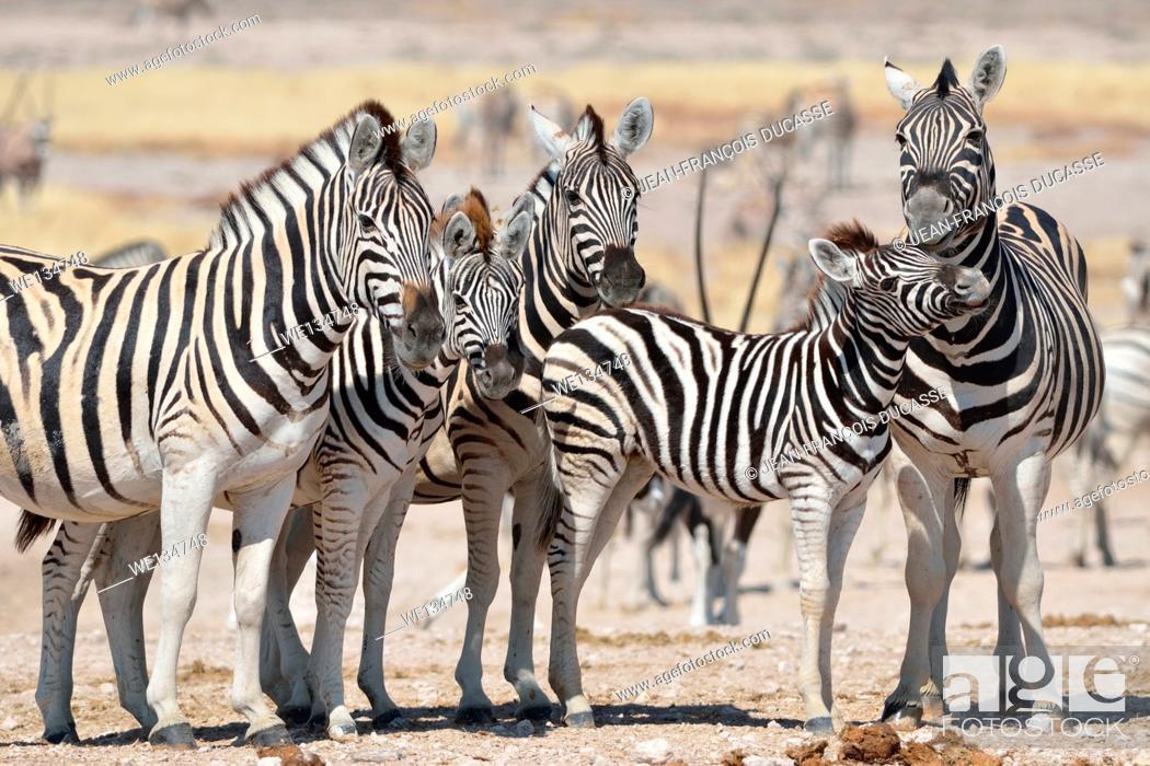 Stock Photo: Herd of Burchell's zebras (Equus burchelli), standing on arid ground, Etosha National Park, Namibia, Africa.