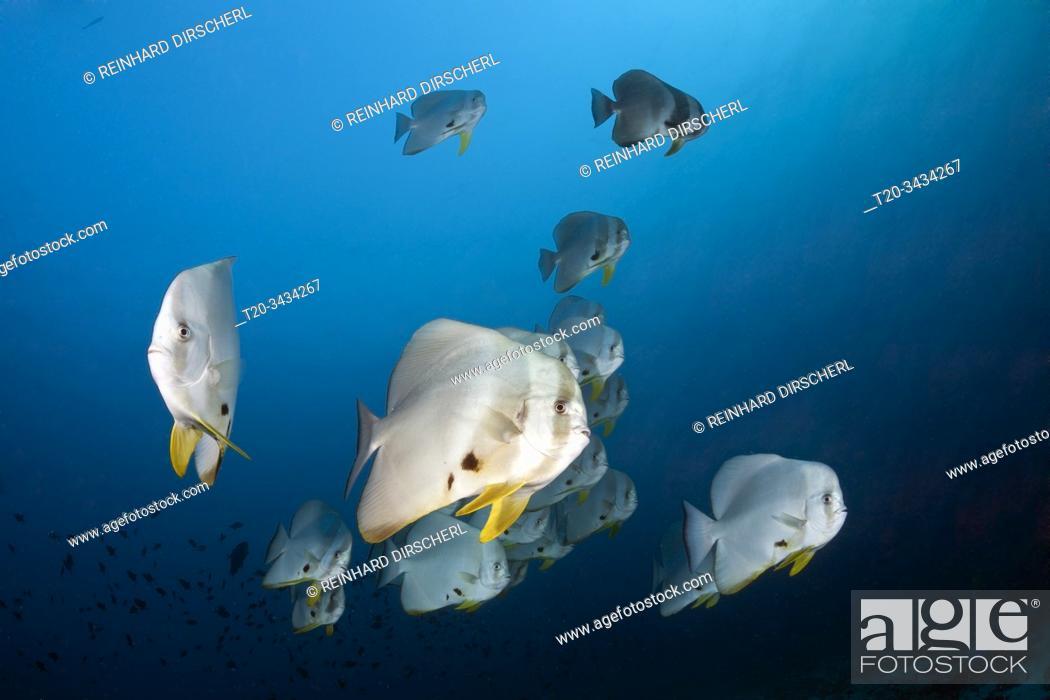 Stock Photo: Shoal of Longfin Batfish, Platax teira, Ari Atoll, Indian Ocean, Maldives.
