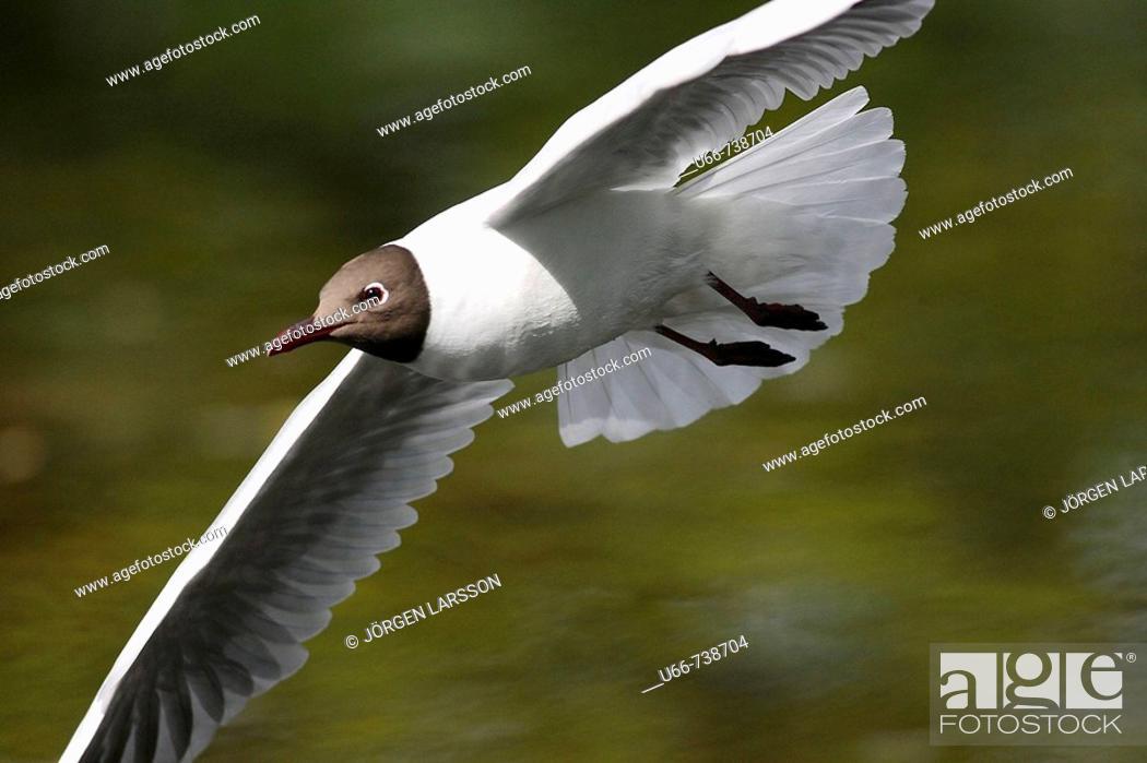 Stock Photo: The Black-headed Gull (Larus ridibundus).