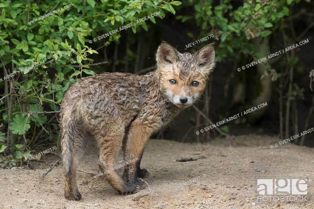 Stock Photo: Red fox - cub in spring - Germany.