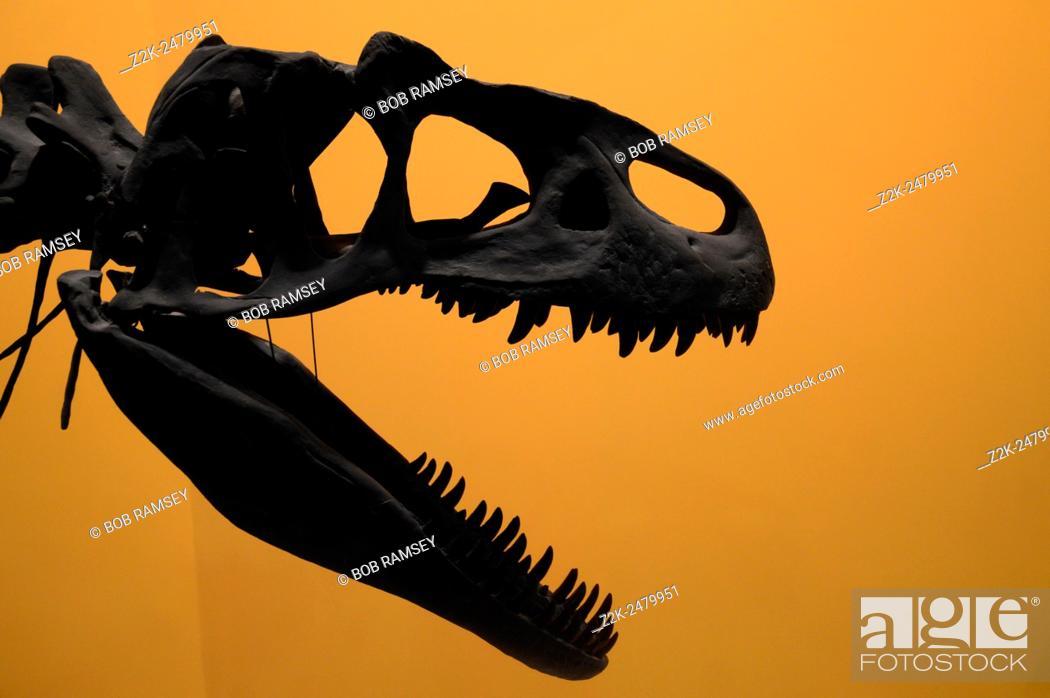 Stock Photo: Allosaurus head skeleton.