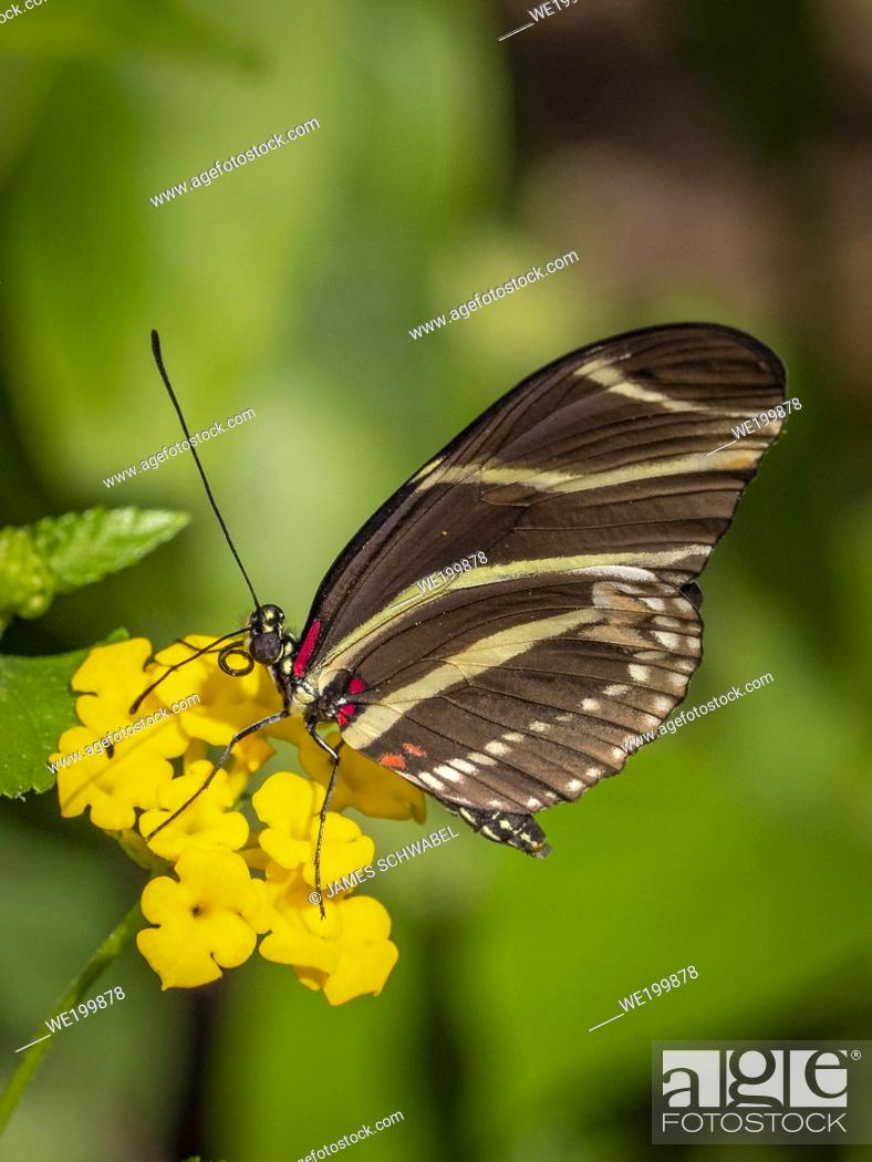 Stock Photo: Closeup of a Zebra longwing or zebra heliconian (Heliconius charitonius) Butterfly the Florida state butterfly on a yellow flower.