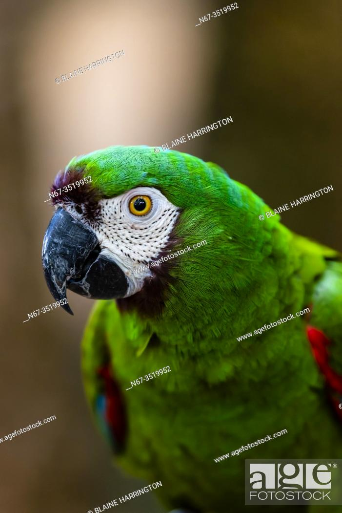 Photo de stock: Macaw, Parque des Aves (Bird Park), Foz do Iguacu, Brazil. . . Parque das Aves is the only institution in the world focused on the conservation of the beautiful.