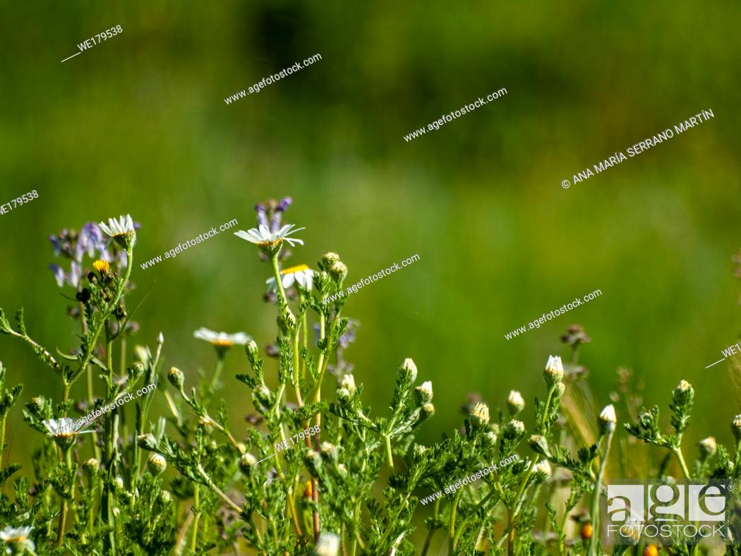 Stock Photo: Daisies in bloom in spring with green bokeh background.