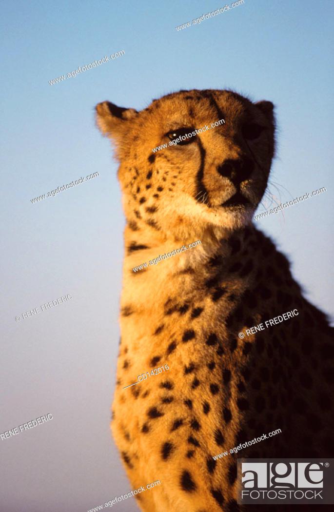 Stock Photo: Cheetah (Acinonyx jubatus), captive. Africa.