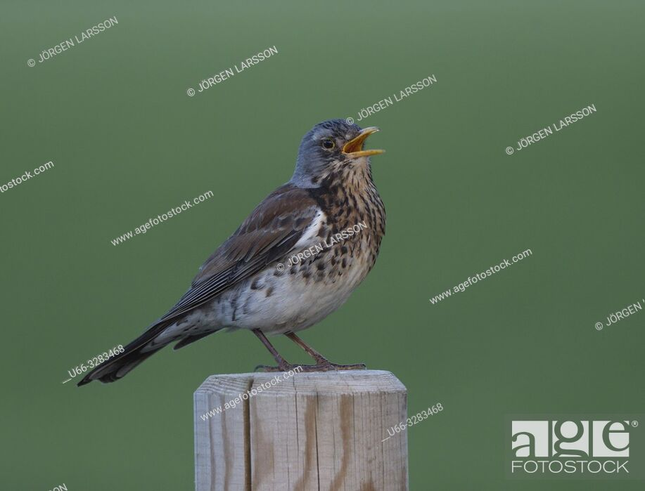 Stock Photo: Screechbird Stockholm Sweden.