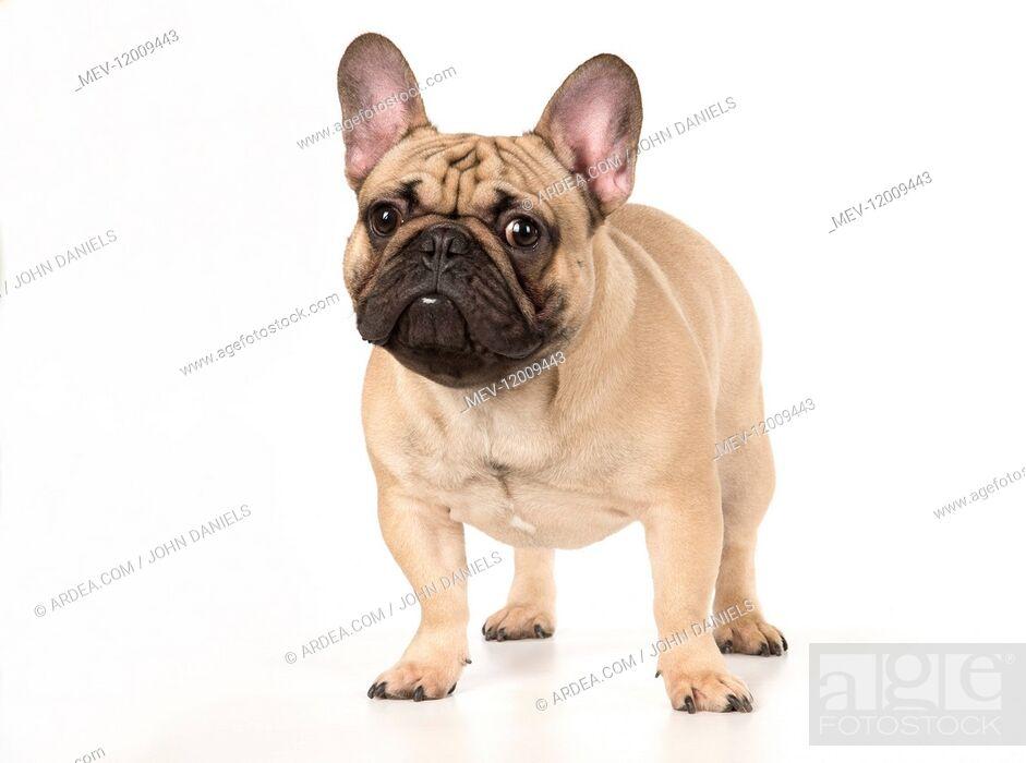Stock Photo: French Bulldog in the studio French Bulldog in the studio.