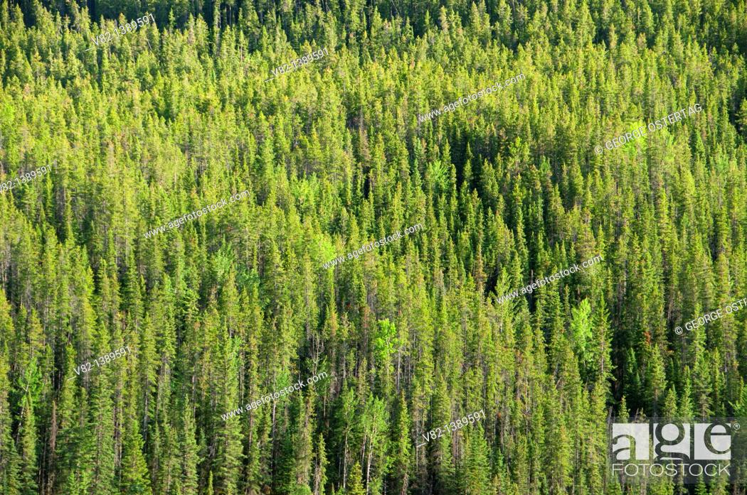Stock Photo: Forest slope, Jasper National Park, Alberta, Canada.