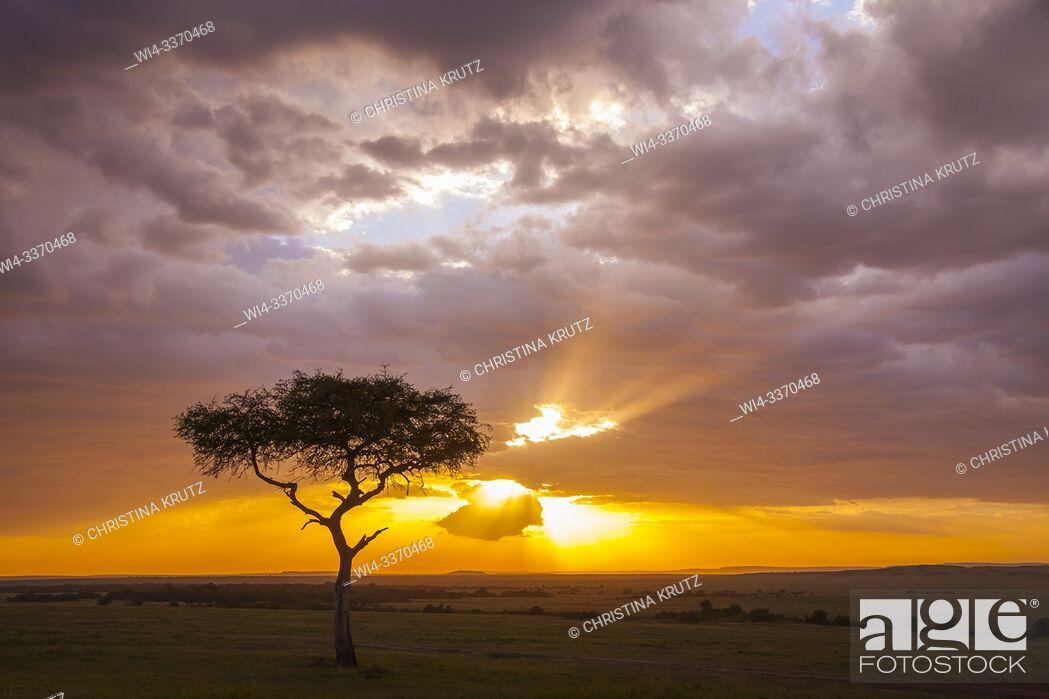Stock Photo: Silhouette of acacia tree at sunset, Masai Mara National Reserve, Kenya.