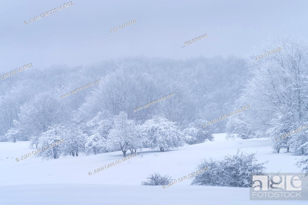 Photo de stock: Espino Albar and Beech Forest in the Raso de Opakua snowed in winter in the Port of Opakua, in the Natural Park of the Sierra de Entzia. Alava.