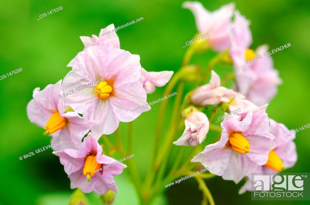 Stock Photo: Flower potato.