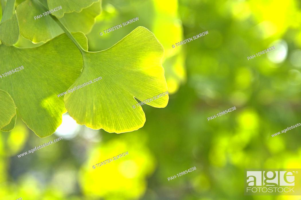Stock Photo: Close-up of some ginkgo blatters at a ginkgo tree in Schleswig. Shooting in fine weather and sunshine in autumn 2018. Class: Ginkgo Plants (Ginkgoopsida).