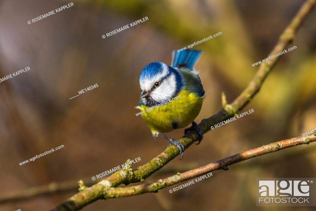 Stock Photo: Germany, Saarland, Bexbach, A blue tit is sitting on a branch.