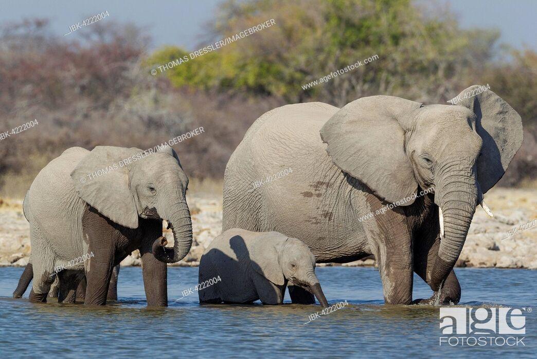 Stock Photo: African elephant (Loxodonta africana) cow with two calves at waterhole, Etosha National Park, Namibia.