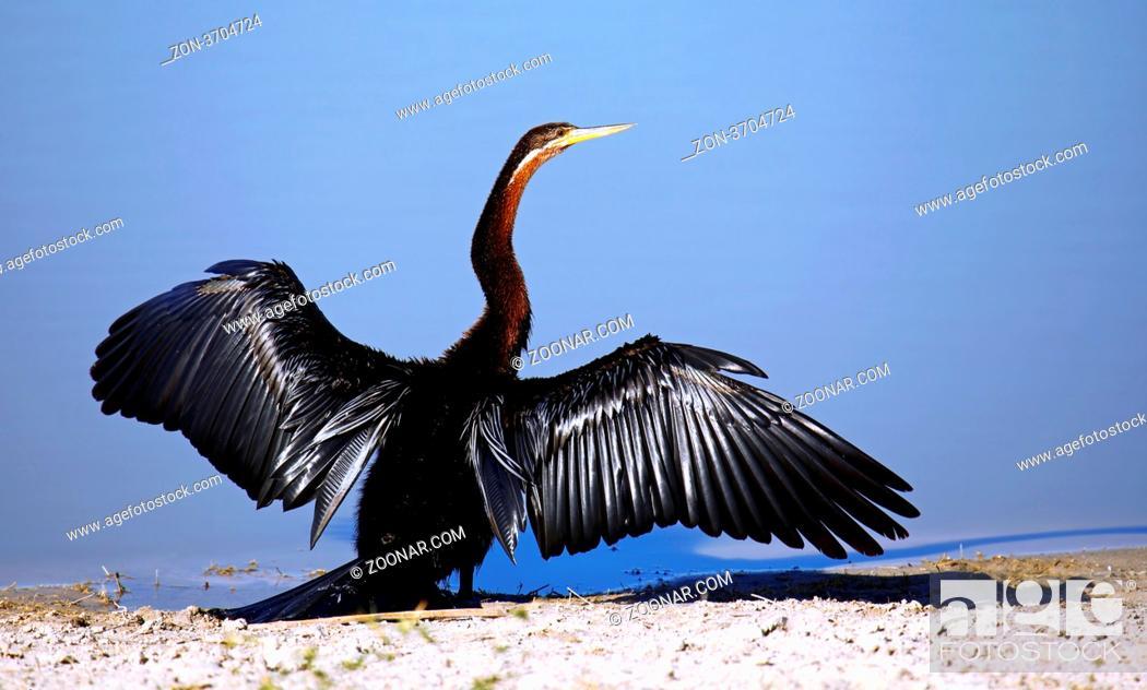 Imagen: Schlangenhalsvogel, African darter, Anhinga rufa, Moremi Game Reserve, Botswana, Botsuana.