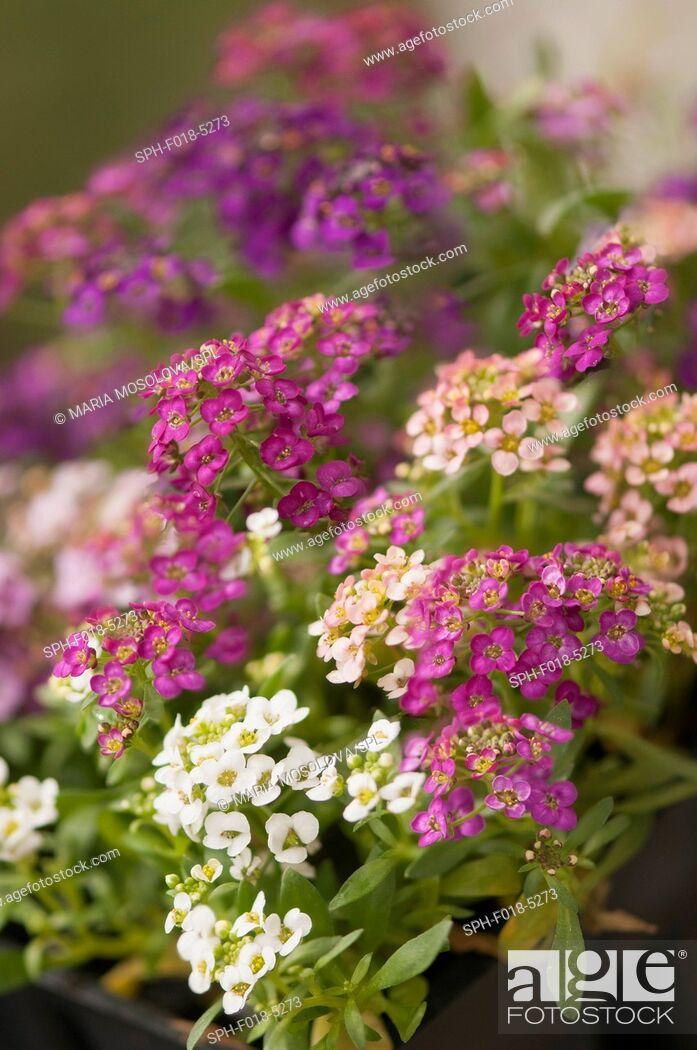 Stock Photo: Multicolor alyssum (Lobularia maritima).