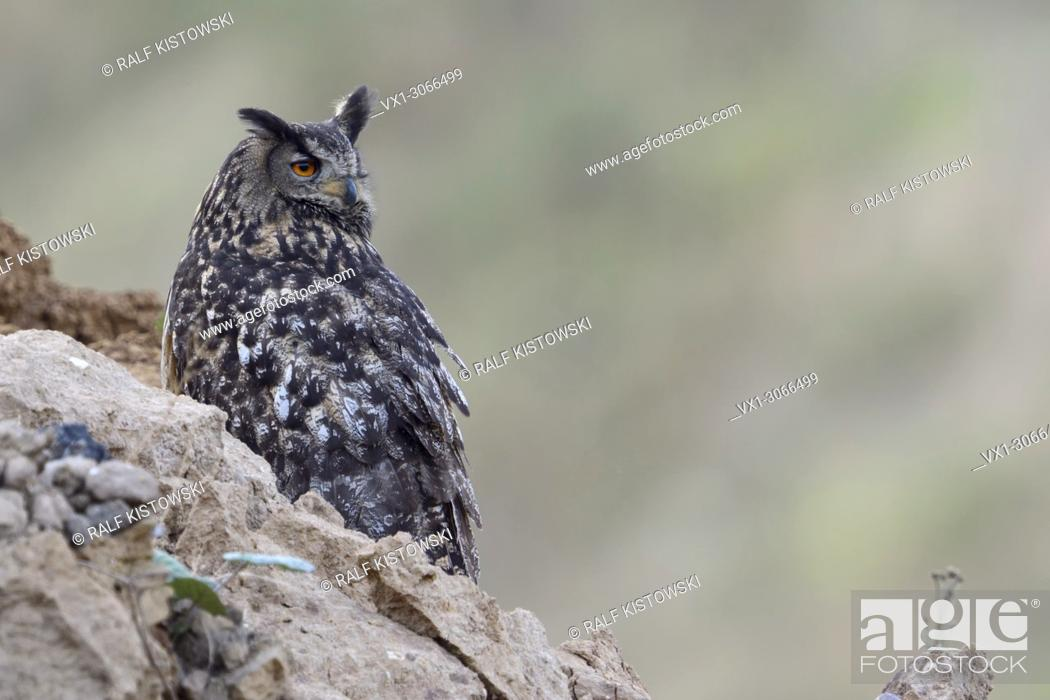 Stock Photo: Eurasian Eagle Owl ( Bubo bubo ), perched in the slope of a dump, watching back over its shoulder, hunting for prey, wildlife, Europe.