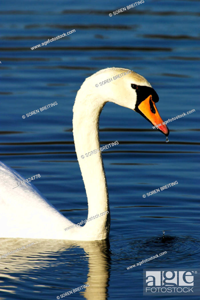 Stock Photo: Mute swan (Cygnus olor), a white swan, swimming in lake with wet head.