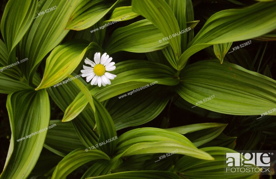 Stock Photo: Flower in a sea of leaves. Pyrenees. Huesca. Spain.