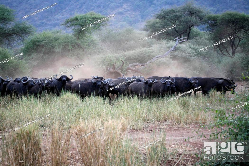Stock Photo: Herd of buffaloes, Tanzania.
