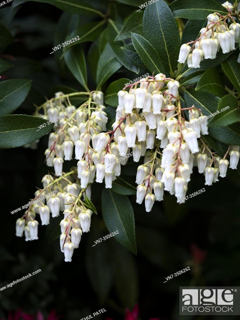 Stock Photo: Close up of cluster white bell shaped flowers of pieris ' forest flame' evergreen shrub.