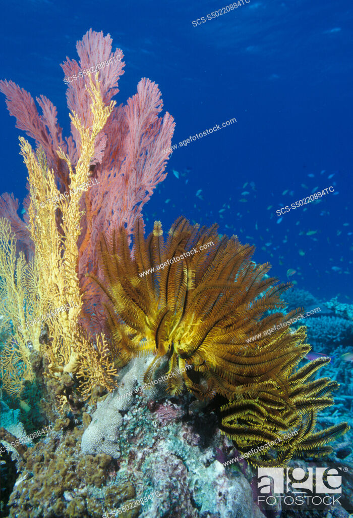 Stock Photo: Crinoids & soft corals on reef Indo Pacific.