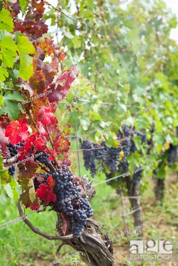 Stock Photo: Canada, Ontario, Niagara Escarpment Wine Country, St. Catherines, vineyard, autumn.