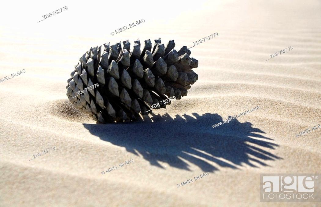 Stock Photo: Pine cone over the sand.