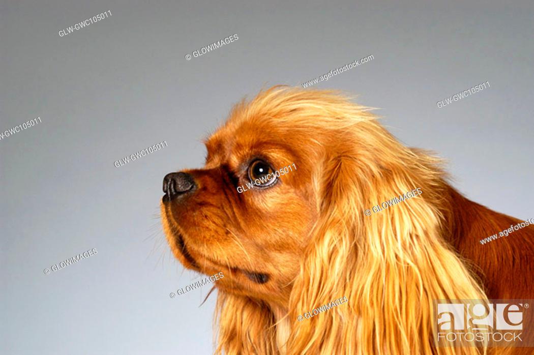 Stock Photo: Side profile of a Cocker Spaniel.