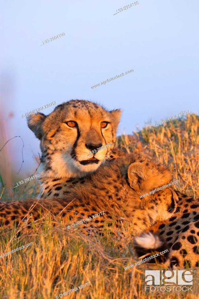 Stock Photo: Cheetahs (Acinonyx jubatus). Okavango Delta, Botswana, Africa.