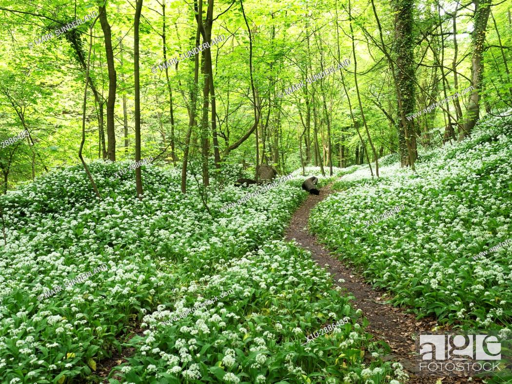 Imagen: Footpath through Wild Garlic in Skipton Castle Woods in Spring, Skipton, North Yorkshire, England.