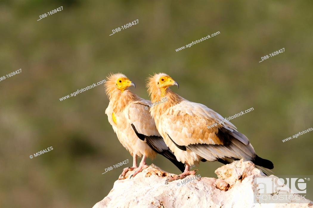 Stock Photo: Egyptian vulture (Neophron percnopterus), Socotra island, listed as World Heritage by UNESCO, Aden Governorate, Yemen.
