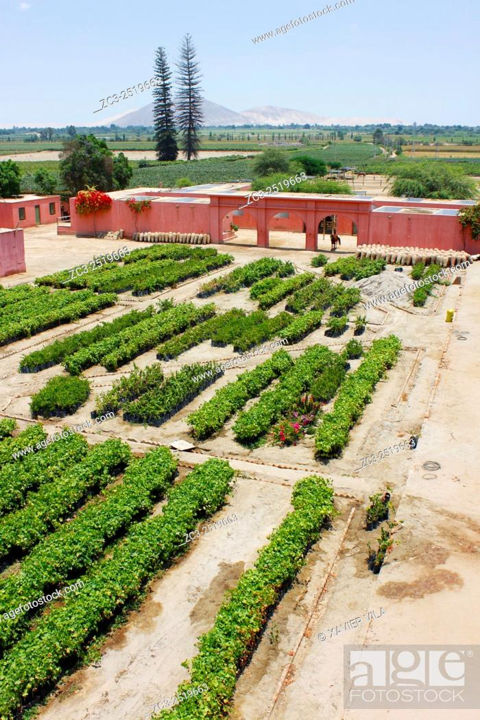 Stock Photo: Vines before planting in the garden. In the decade of the 1540 s Francisco de Carabantes created The Tacama Vineyard, which is the oldest in Peru.