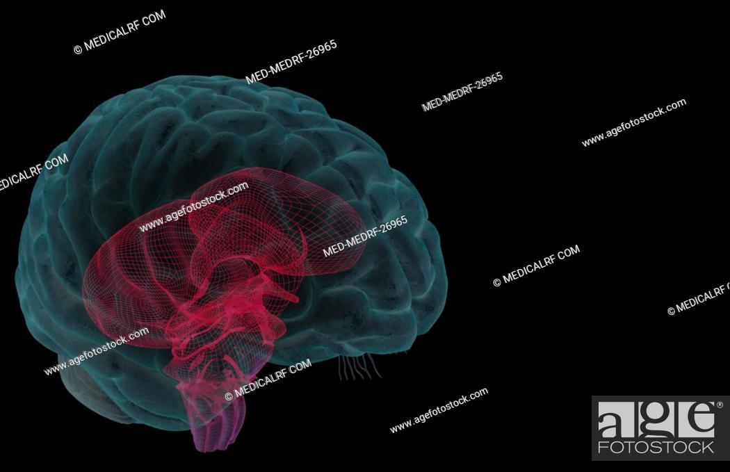 Stock Photo: The brainstem.