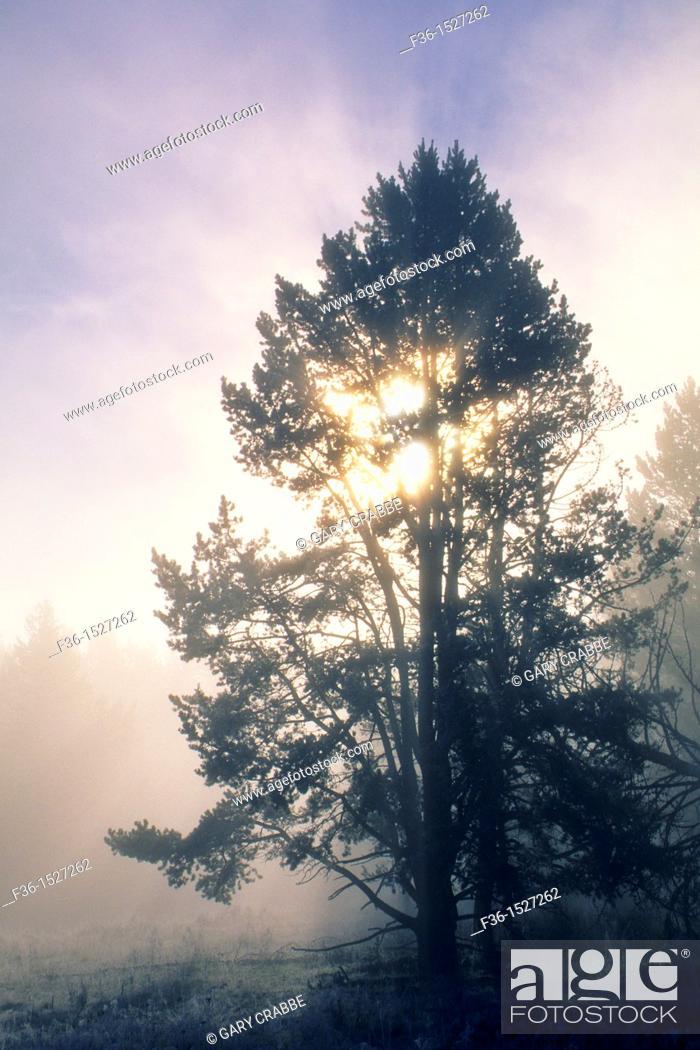 Stock Photo: Misty fall morning sunrise & godbeams through pine tree, Hayden Valley, Yellowstone National Park, WYOMING.