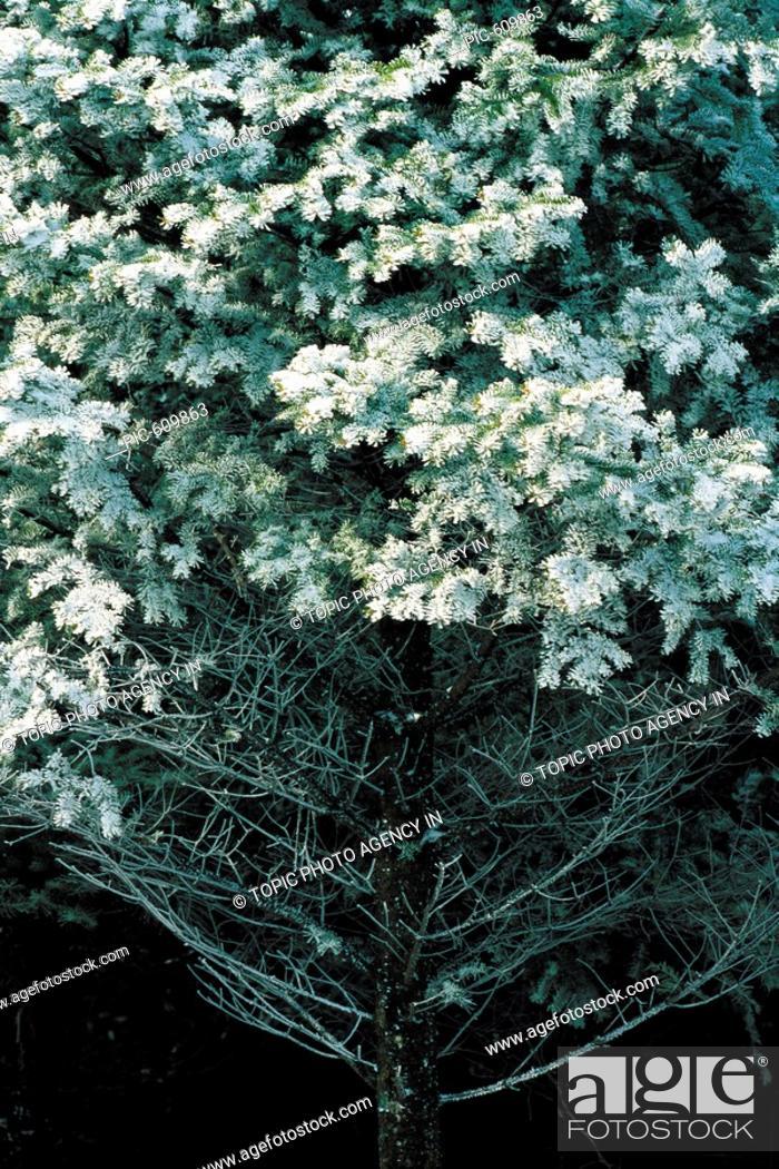 Stock Photo: Snow-covered Branch,Korea.