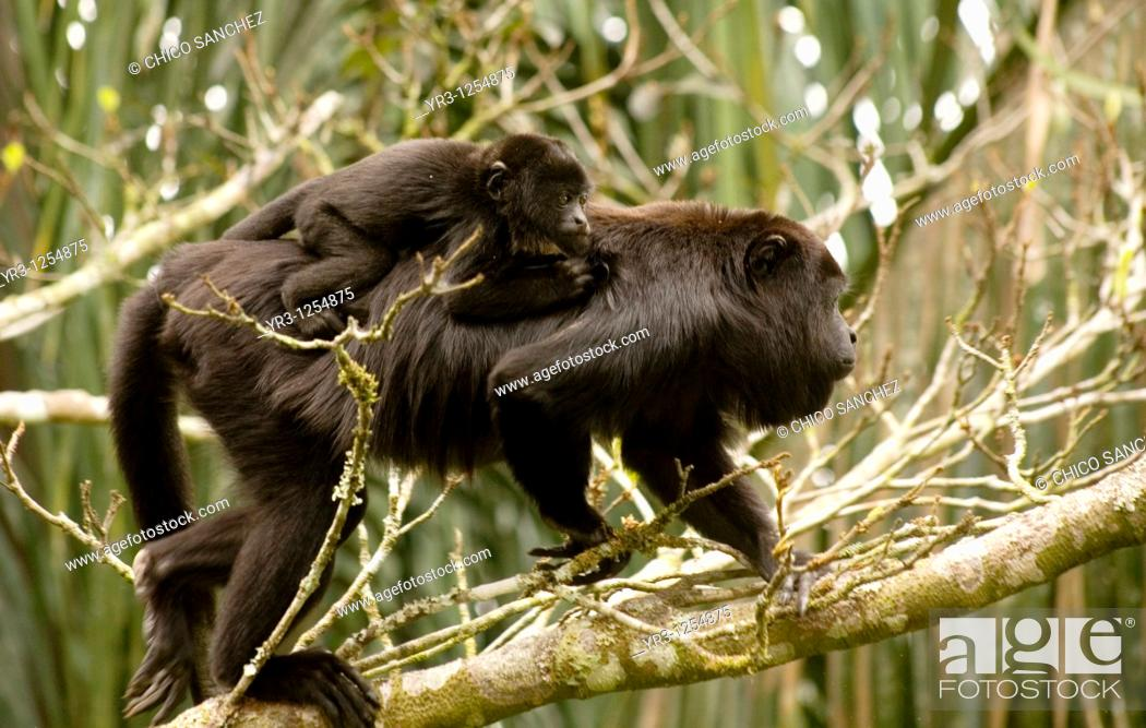 Stock Photo: A black female howler monkey carries her baby as she climbs a tree in the Las Guacamayas Eco- tourist Center in the Montes Azules Biosphere Reserve in the.