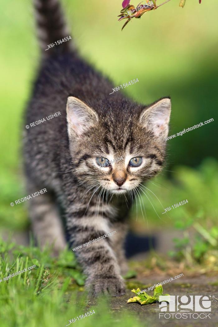 Stock Photo: Kitten, walking down garden path, Lower Saxony, Germany.