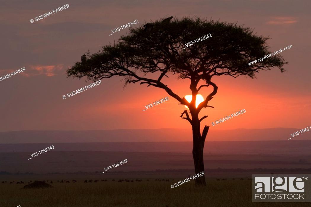 Stock Photo: Acacia tree at sunrise in the Masai Mara in Kenya.