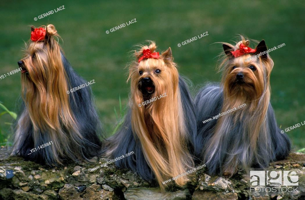 Stock Photo: YORKSHIRE TERRIER, ADULTS STANDING ON STONE.