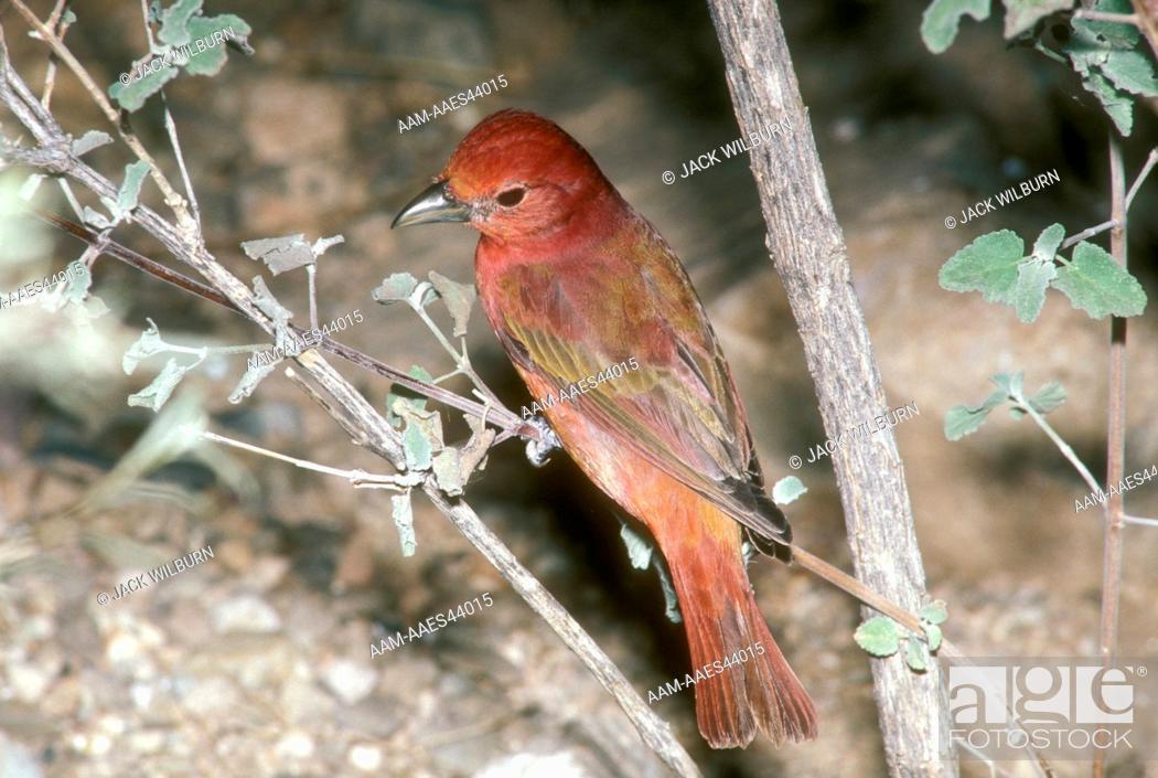 Stock Photo: Summer Tanager, male (Piranga rubra) Pima Co., AZ.