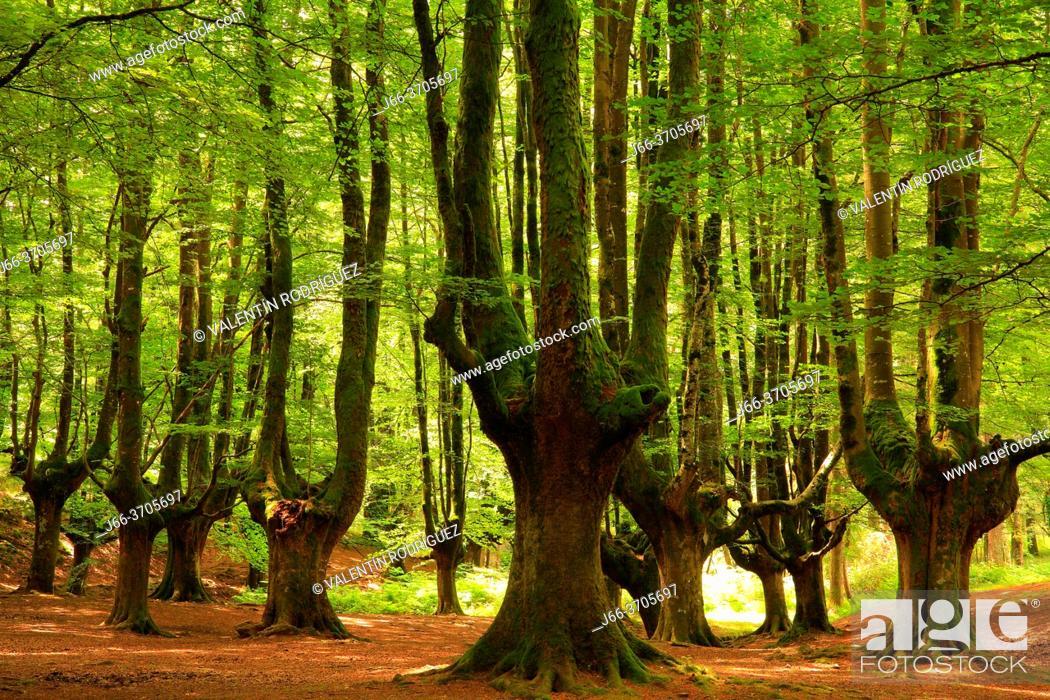 Photo de stock: Beech Otzarreta. Natural Park Gorbea. Pais Vasco.