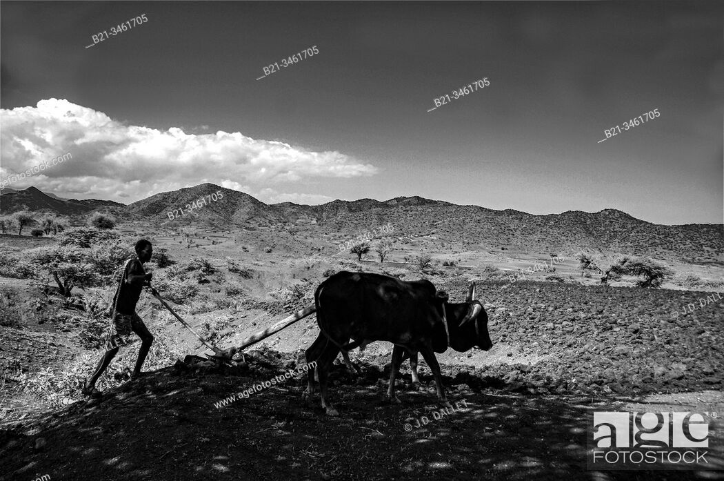 Stock Photo: Ethiopia, plowing at Lalibela . Agriculture.