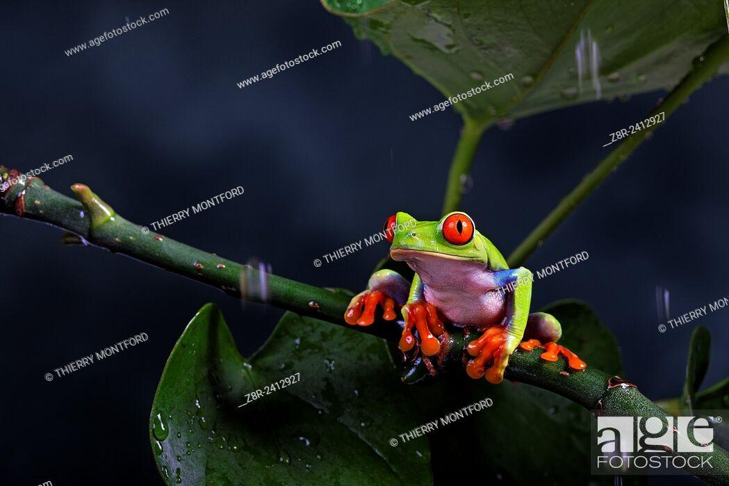 Stock Photo: Agalychnis callidryas. Red eyed tree frog under the rain. Costa Rica.