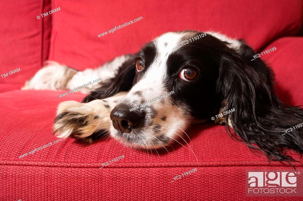 Stock Photo: A close up of an English Springer Spaniel dog laying down indoors on a sofa.